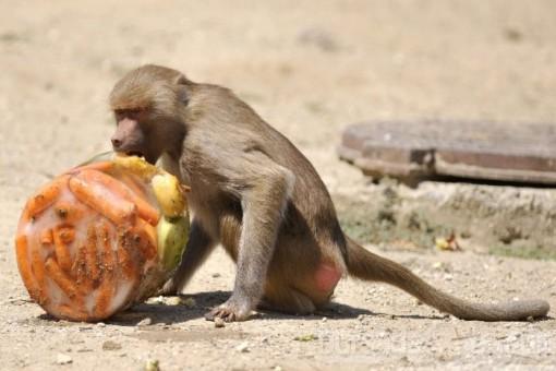 Maymun Kokteyli